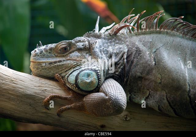 Huge Iguana having rest at a branch - Stock-Bilder