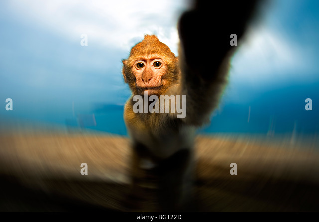 Baby monkey reaching (Macaca sylvanus), Rock of Gibraltar, UK - Stock Image
