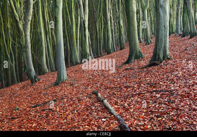 Leaf litter in dense Beech Woodland. Priors Wood. Somerset. England. UK. - Stock Image