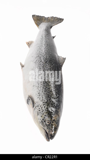 whole salmon - Stock Image