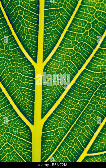 Structure of a healthy leaf - Stock Image