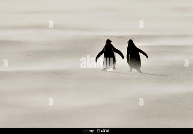 Gentoo penguin (Pygoscelis papua) in sandstorm on beach, Saunders Island, Falkland Islands. - Stock Image