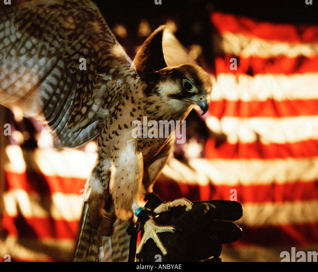 Falcon and US Flag - Stock Image