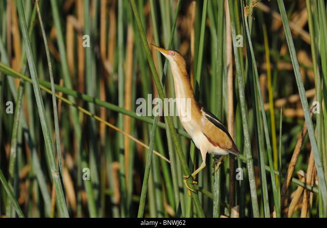 Least Bittern (Ixobrychus exilis), adult in reeds, Fennessey Ranch, Refugio, Coastal Bend, Texas Coast, USA - Stock Image