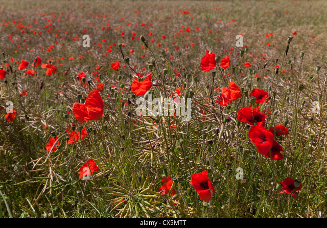 CLOSE UP OF RED POPPIES IN FIELD OF OIL SEED RAPE WILTSHIRE ENGLAND UK - Stock-Bilder
