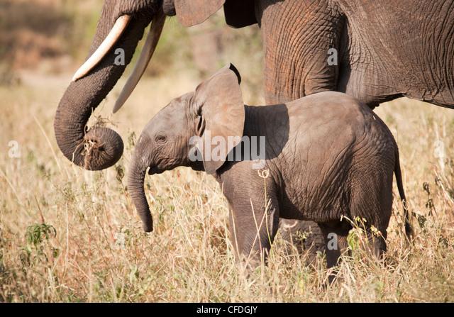 Elephant and calf in Tarangire Reserve of Tanzania - Stock Image