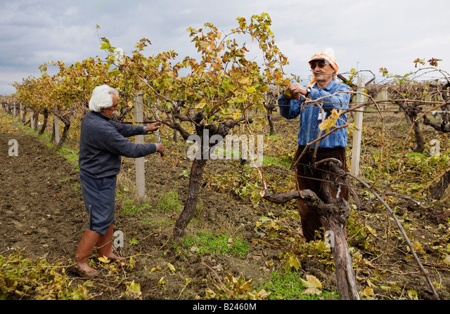 Workers trim back vines in the autumn at an organic vineyard near Izmir in Turkey - Stock Image