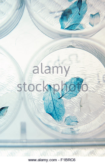 Genetically modified leaves - Stock Image