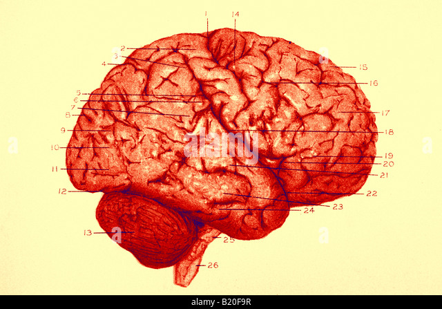 ILLUSTRATION CONVOLUTIONS RIGHT HEMISPHERE OF BRAIN - Stock Image