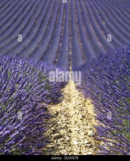 Rows of purple flowers in field - Stock Image