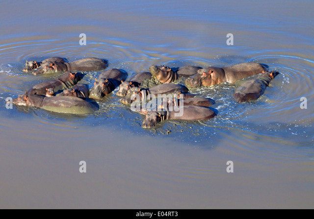 Aerial view of hippo in water.Hippopotamus. (Hippopotamus amphibius) South Africa - Stock Image