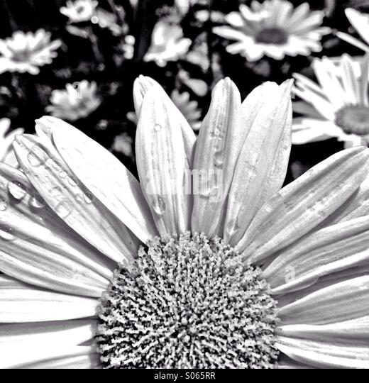 Daisy in black and white - Stock Image