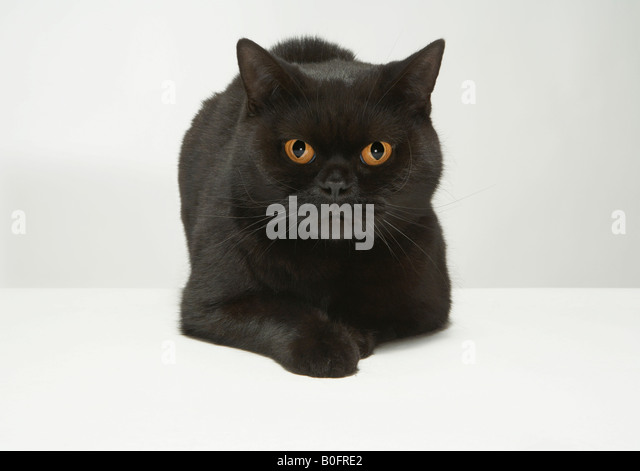 Portrait of black cat - Stock Image
