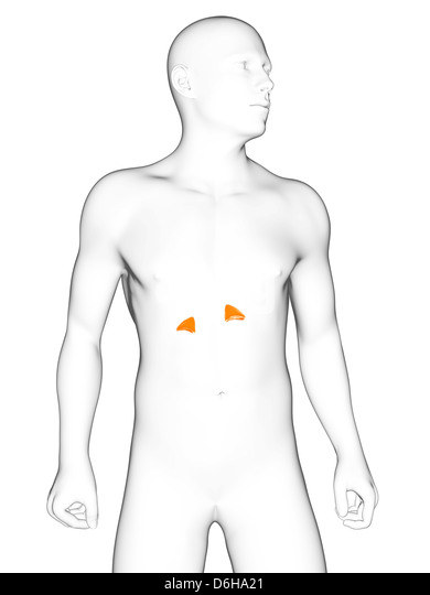 adrenal gland stock photos  u0026 adrenal gland stock images
