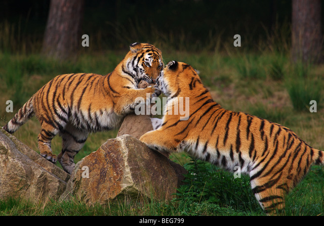 Two playing Siberian Tigers in front of a dark forest - Stock Image