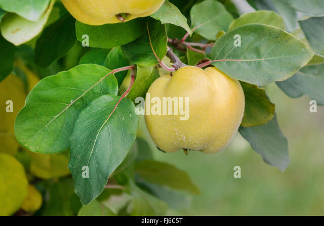 quinces on tree stock photos quinces on tree stock. Black Bedroom Furniture Sets. Home Design Ideas