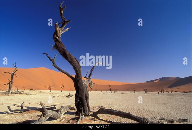 petrified trees in Deadvlei nr Sosusvlei Namib desert Namibia - Stock Image