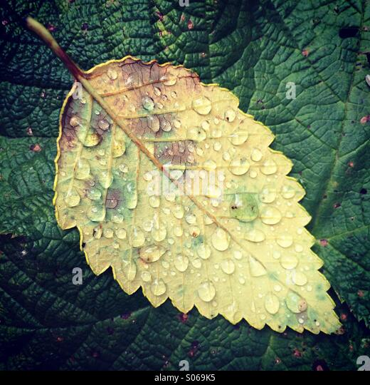 Raindrops on fallen leaf, Olympic Peninsula, Washington - Stock Image