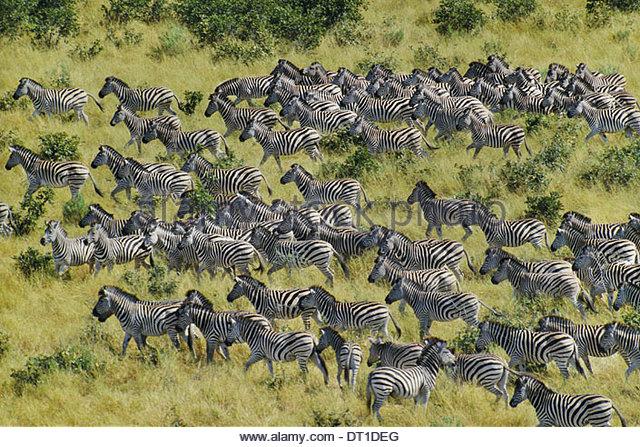 Chobe National Park Botswana Zebras migrating Equus quagga Chobe National Park - Stock Image