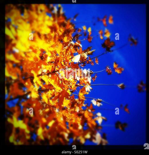 Yellow Leaves - Stock Image
