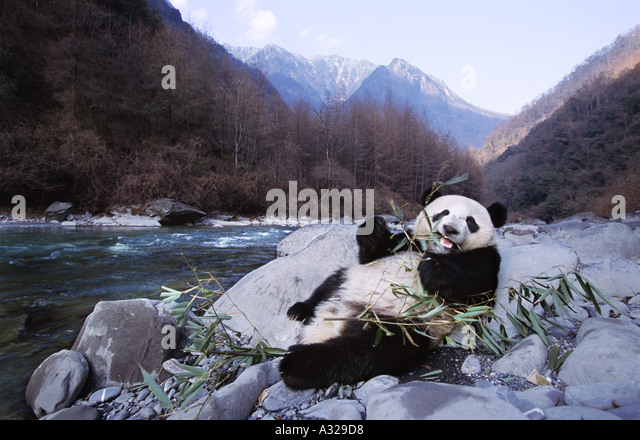Giant panda beside the river Sichuan China - Stock Image