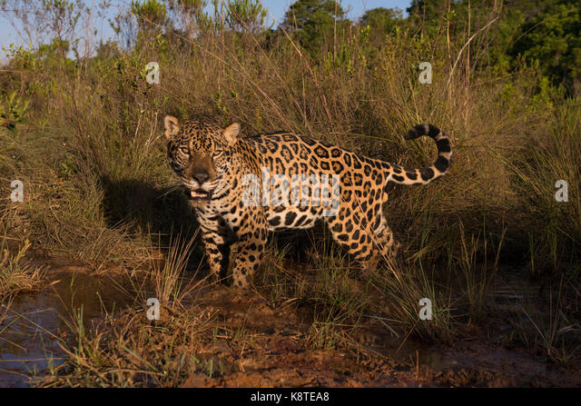 Jaguar in a small creek among native grass from the Cerrado of Central Brazil - Stock Image