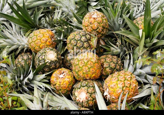 pineapples costa rica stock photos amp pineapples costa rica