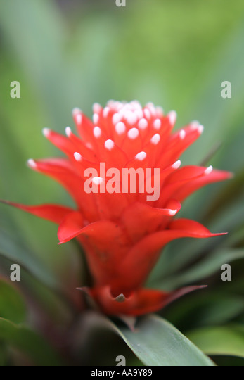 Florida, tropical plant, flora, growing, life, red flower, bromeliad, - Stock Image
