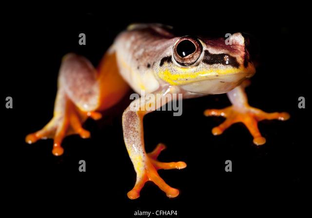 Madagascar reed frog, Masoala Peninsula National Park, north east Madagascar. - Stock Image