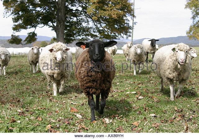 West Virginia Lewisburg sheep - Stock Image