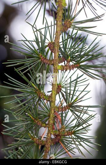 Cedar of Lebanon, Lebanon cedar (Cedrus libani, Cedrus libanotica), long shoot with short shoots - Stock Image