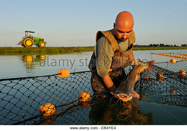 A worker selects brood stock from a fish farm pond. - Stock Image