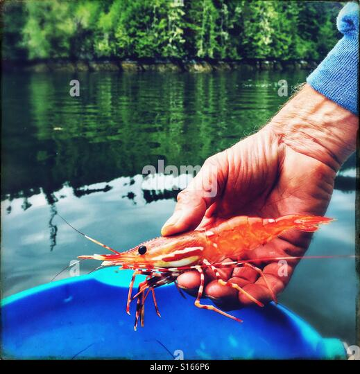A man's hand holds a large freshly caught prawn over a blue bucket in British Columbia. - Stock-Bilder