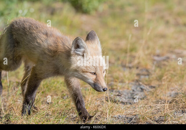 Red Cascade Fox Walks into sunny field with copy space to right - Stock Image