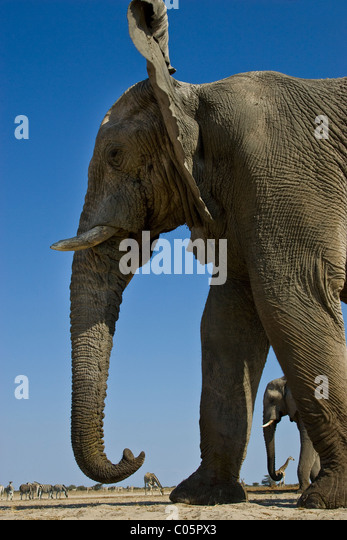 Elephant from low angle, Etosha National Park, Namibia. - Stock Image