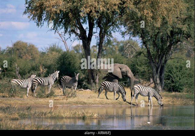 Elephant and zebras at the Khwai river, Moremi Wildlife Reserve, Botswana, Africa - Stock-Bilder
