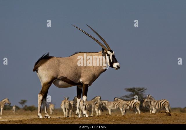 Gemsbok, Etosha National Park, Namibia. - Stock Image