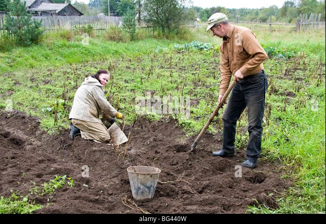 Harvesting potatoes on dacha's land, Somino village, Leningrad region, Russia - Stock Image