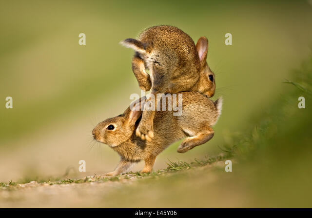 Two European Rabbit (Oryctolagus cuniculus) young playing and jumping. UK, August. - Stock Image