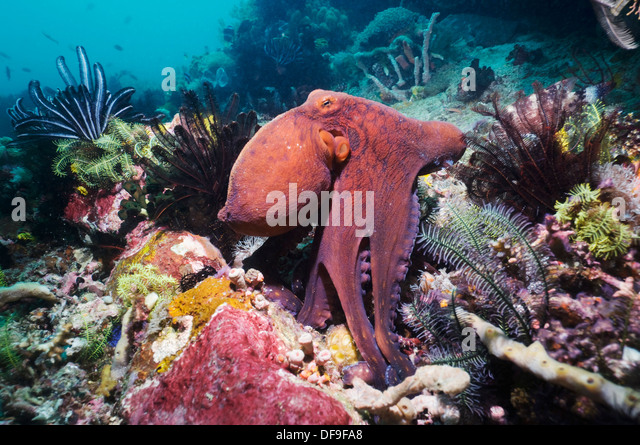 Common Octopus On Coral Reef Stock Photos & Common Octopus ...