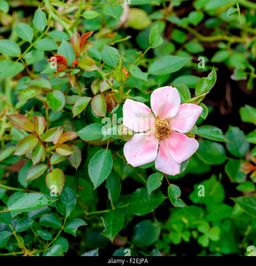Roses In Garden: Ground Cover Roses Stock Photos & Ground Cover Roses Stock