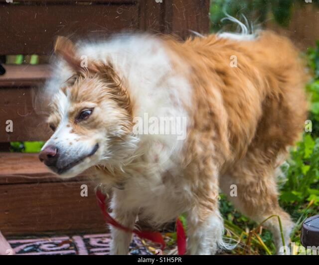 Horizontal photo of a blonde border collie mix shaking vigorously right after being washed (some movement blur to - Stock-Bilder
