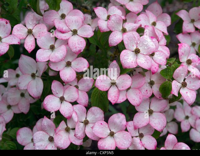 Close up of Dogwood flowers. Hughes Water Gardens, Oregon - Stock Image