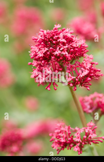 Centranthus ruber growing in an herbaceous border. - Stock Image