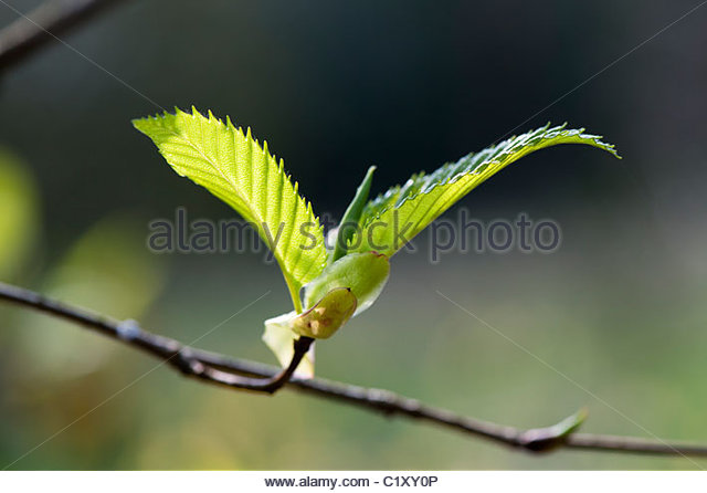 Alnus Pendula, Grey alder weeping tree foliage emerging - Stock Image