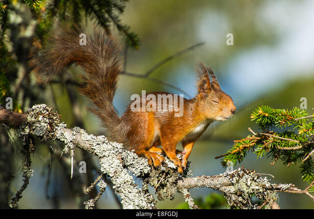 Squirrel on tree - Stock Image