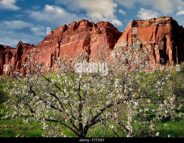 Apple blossoms and cliffs. Fruita, Capitol Reef National Par,k. Utah - Stock Image