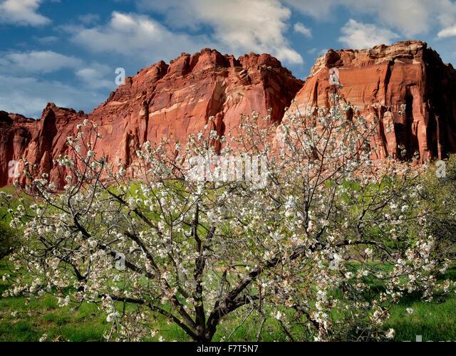 Apple blossoms and cliffs. Fruita, Capitol Reef National Par,k. Utah - Stock Image