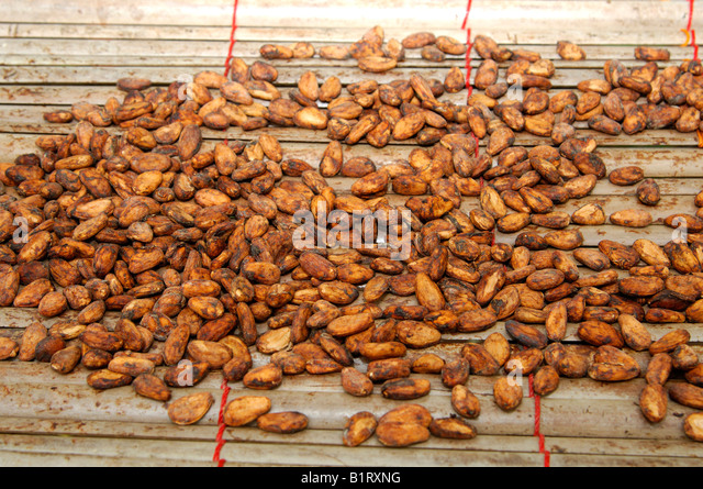 Fermented and dried cocoa beans (Theobroma cacao), Ghana, West Africa - Stock Image