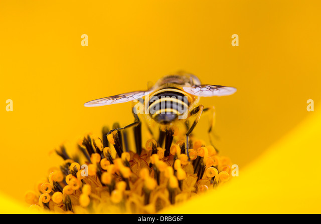 Hoverfly Myathropa florea feeding in an Inula flower in a garden. Carmarthenshire, Wales. September. - Stock Image